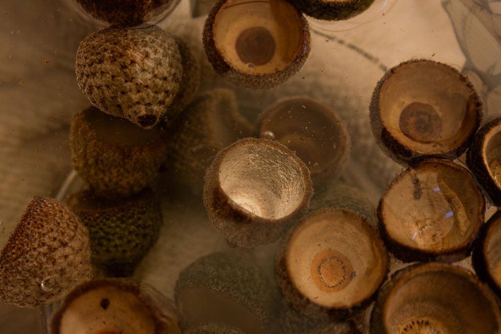 Cúpulas bellotas a remojo